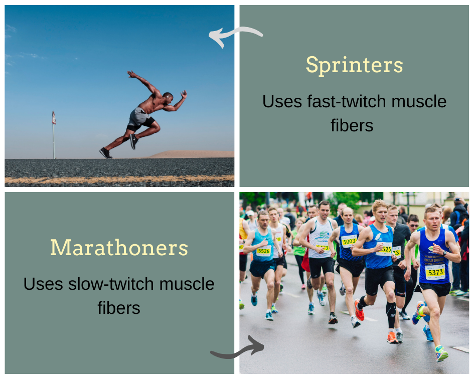 muscle fiber types slow twitch fast twitch